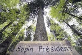 préLe «Sapin Président», l'arbre roi des forêts baulméranes, donne au Sentier des géants ses lettres de noblesse. © Michel Duperrex