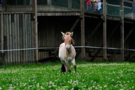 Le cheval de Przewalski, majestueux animal.