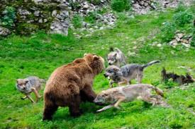 Danse avec les loups.