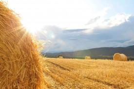 Le bilan des moissons est positif, aux yeux de la plupart des agriculteurs