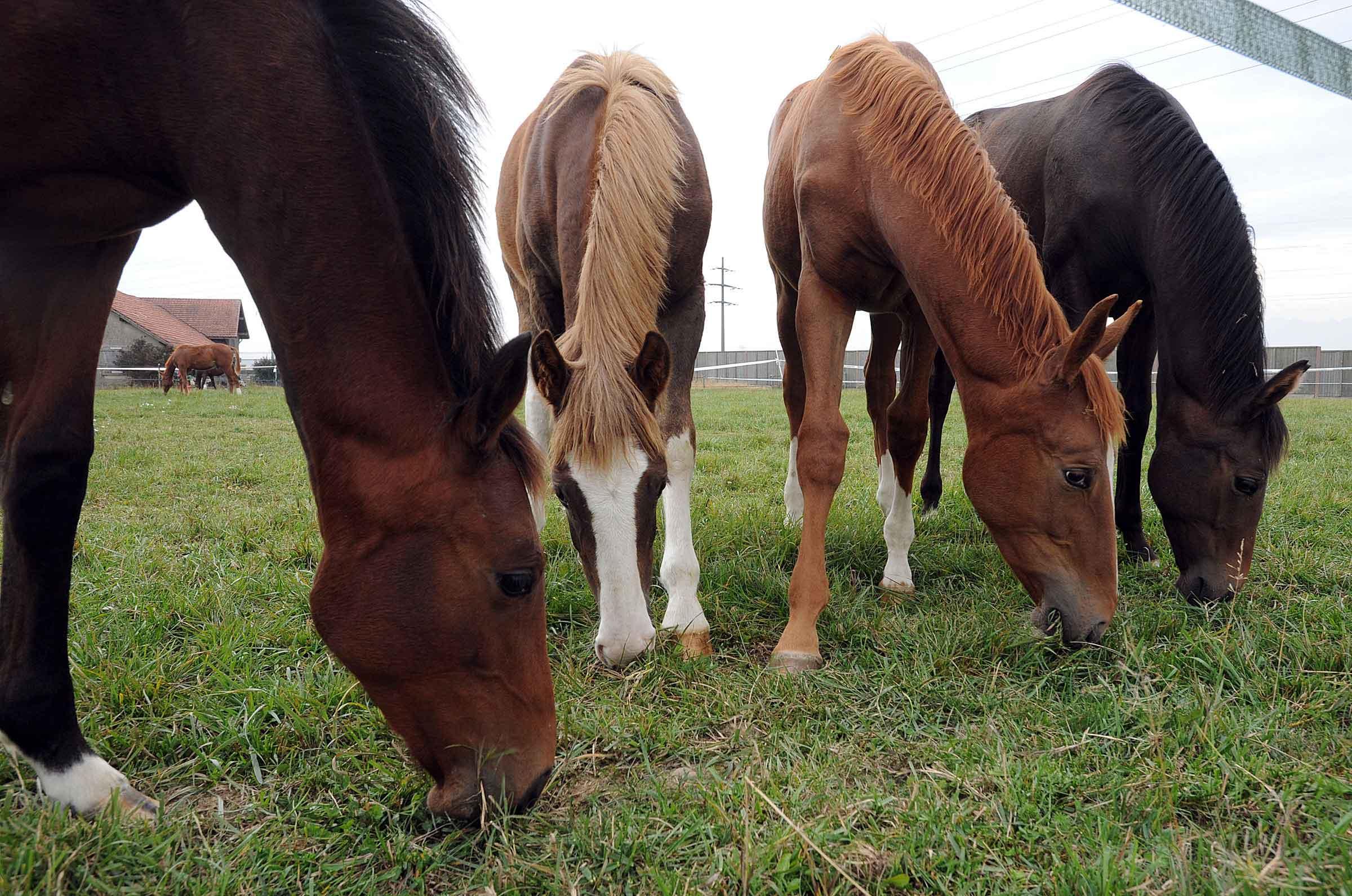 Des chevaux victimes d une bact rie la r gion for Multiplication cheval