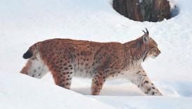 Si le lynx a pu revivre en Suisse, c'est aussi grâce à l'action du naturaliste Archibald Quartier, ancien responsable de la chasse et de la pêche du Canton de Neuchâtel. ©La Région-a