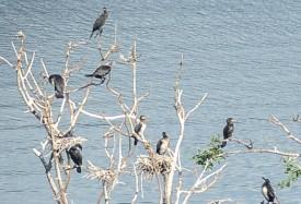Les cormorans en question. ©Carole Alkabes