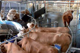 Matin et soir, une vache passe environ dix minutes sur la plateforme pour donner environ 25 kilos de lait par jour. Ci-contre (à g.), Etienne Poncet procède à la traite. ©Michel Duperrex