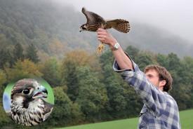 Le faucon pèlerin a attendu patiemment que son bienfaiteur Damien Juat le libère dans un habitat naturel taillé sur mesure. ©Michel Duperrex