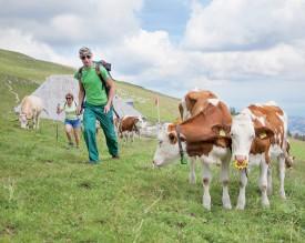 Les troupeaux de vaches, comme ici sur les pâturages situés à proximité du Chalet du Suchet, font partie intégrante du paysage des crêtes jurassiennes. ©Simon Gabioud
