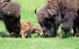 Le bisonneau est le septième à voir le jour au Juraparc ce printemps. ©Christian Greutert