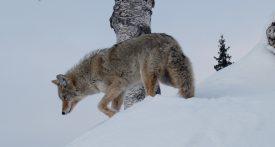Parmi les moments exceptionnels qu'il vit en Alaska, Nicolas Reymond apprécie particulièrement les rencontres avec les animaux dont les loups. ©DR