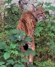 Des lynx issus du Jura vaudois et des Carpates slovaques vont repeupler une réserve du Palatinat. ©Blanchard-a