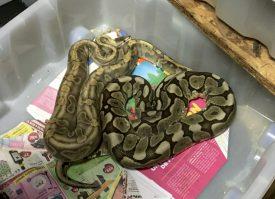 Ce serpent appartient à la septantaine de reptiles découverts et retenus dans de mauvaises conditions. ©DR