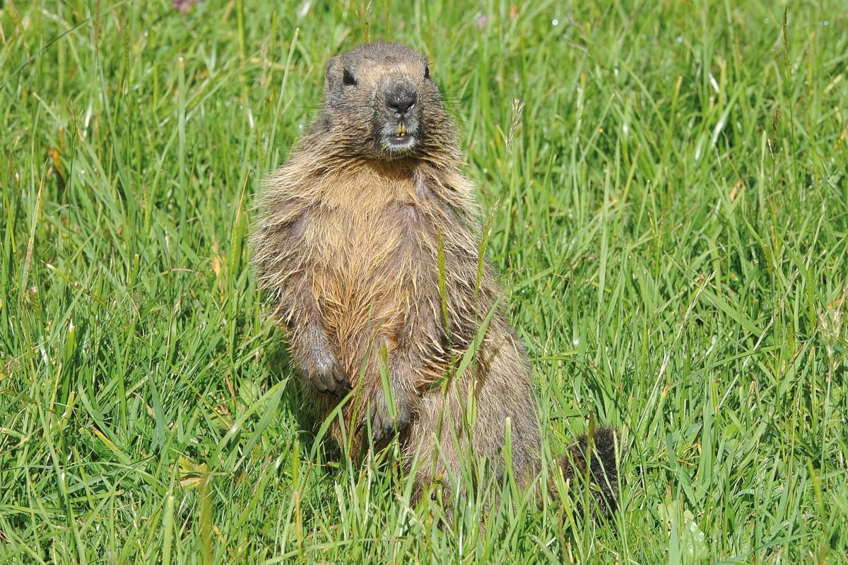 Dans l'univers des marmottes des Roches Eboulées