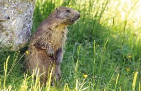 Tout en restant sur ses gardes, cette marmotte s'est laissée approcher de très près. © Michel Duperrex