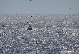 Le ballet majestueux des baleines au Nord de la Californie. ©BenTess Schnellyss
