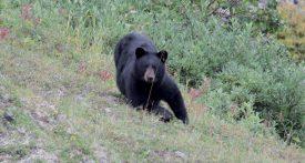 Les ours noirs, bien présents dans la région, rendent régulièrement visite au Combier, sur son terrain entre lac et montagnes. ©DR