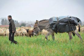 L'un des deux ânes, sous la conduite de David Henguely. ©Carole Alkabes