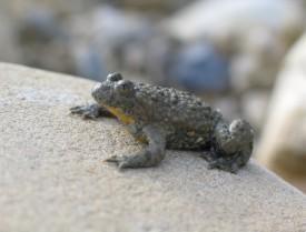 A Orbe, la revitalisation du ruisseau des Vouattes (ci-dessus) devrait profiter aux amphibiens comme le sonneur à ventre jaune. DR