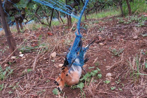 Les vignes sont un cimeti re oiseaux la r gion - Faire peur aux oiseaux jardin ...