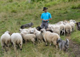 L'escorte canine travaille en équipe pour regrouper les moutons.