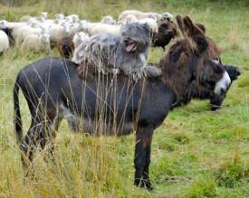 Larzac, l'un des deux ânes qui accompagnent le troupeau, se montrera moins docile envers les prédateurs potentiels, comme les renards en quête d'agneaux.