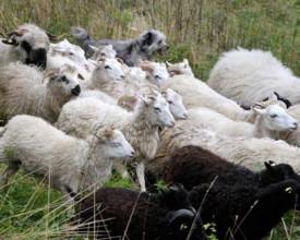 Plusieurs variétés de moutons cohabitent dans le troupeau.