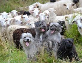 Le troupeau est sous bonne garde avec ce brillant quatuor.