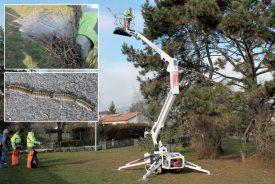 Les collaborateurs de la Commune coupent les branches des pins où sont localisés les nids, afin d'éviter qu'au printemps, les processions de chenilles (ci-dessus) n'exposent humains et animaux à d'importants désagréments. ©Ludovic Pillonel