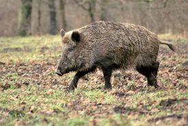 Le sanglier est un animal omnivore qui fait des ravages dans les cultures, et qui peut nuire aussi aux autres espèces. ©DR