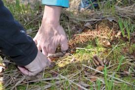 Des petits tapis de sphaignes, dont l'accumulation en couches successives compose les tourbières, plaident en faveur de la réussite de l'opération de renaturation. ©Michel Duperrex