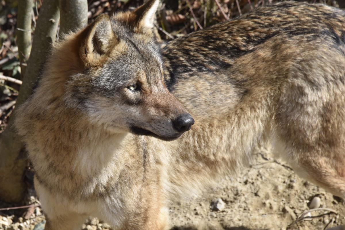 Loup: les députés vaudois votent une résolution de José Durussel pour une meilleure régulation