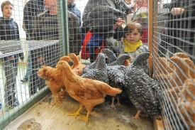 De nombreuses poules ont intrigué les passants à la grande salle de Concise. © Carole Alkabes