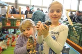 Elisa et Lucie Montandon ont trouvé deux jolis poussins de Hollande du nord, une race de poule domestique.