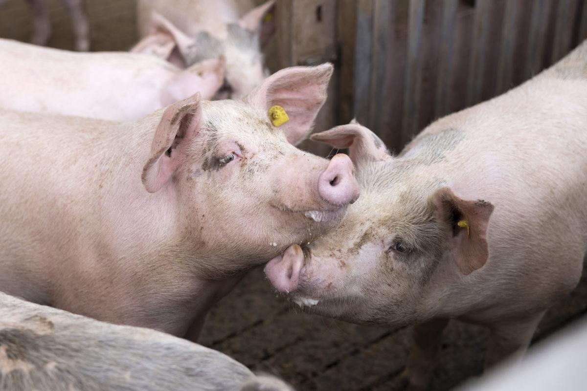 Thierrens sous tension avant le vote sur la nouvelle porcherie