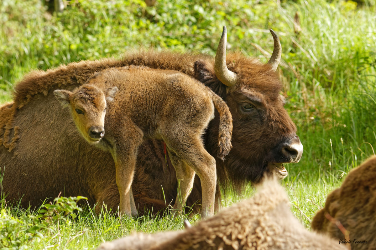 Un bébé agrandit le cercle des bisons de Suchy!