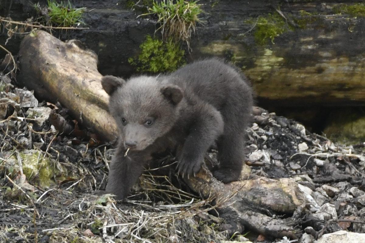 Molesté par sa mère, un ourson périt